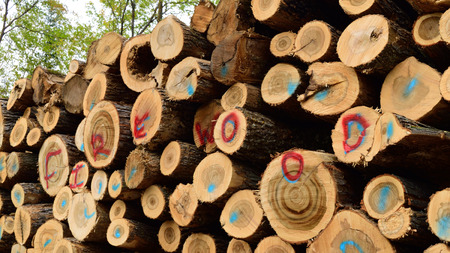 saccharum: Scaled Sugar Maple (Acer saccharum) Firewood Stock Photo