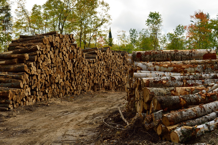 acer: Sugar Maple (Acer saccharum) and Paper Birch (Betula papyrifera) Piled in Fall Stock Photo