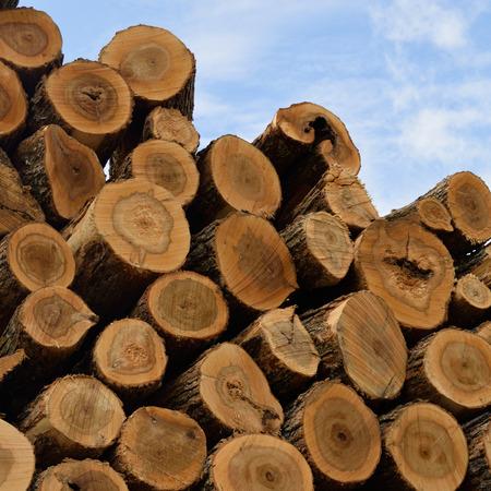 acer: Sugar Maple (Acer saccharum) Logs in Pile