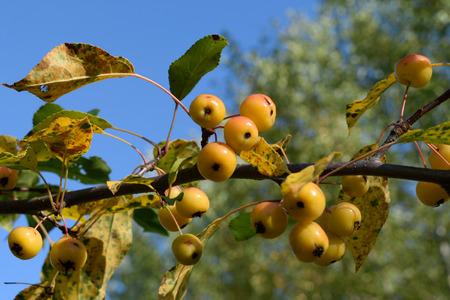 crab apple tree: Crabapples on Tree in Autumn
