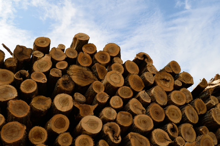 saccharum: Sugar Maple (Acer saccharum) Processed and Piled Stock Photo