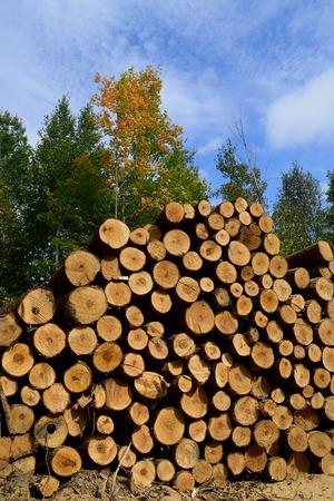 basswood: Basswod Tilia Americana Sawlogs in Fall Stock Photo