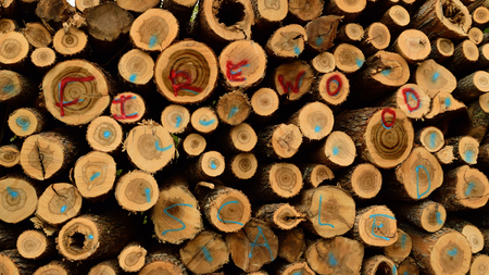 acer: Sugar Maple Acer saccharum Firewood Stock Photo