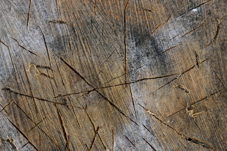 forest management: Sugar Maple Acer saccharum Splitting Block Detail