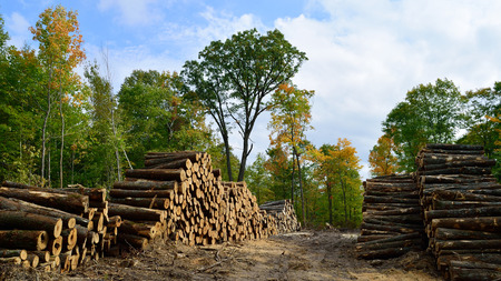 hardwood: Hardwood Logs Piled in Fall