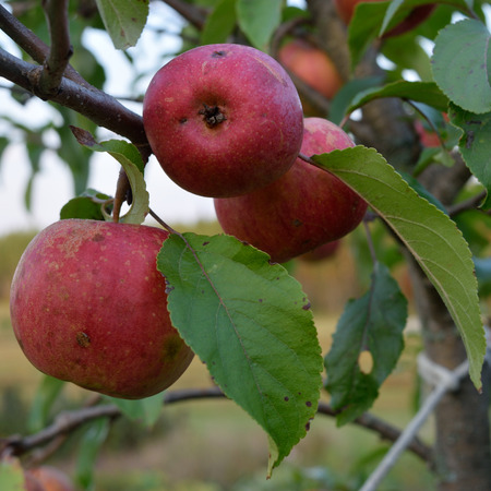 organically: Chestnut Crab Apples Growing Organically in Fall