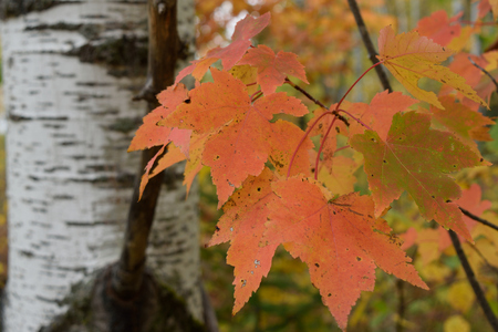acer: Colorful Fall Red Maple (Acer rubrum) Leaves Stock Photo