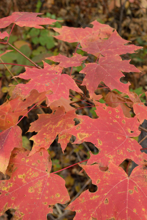 saccharum: Sugar Maple (Acer saccharum) Leaves Showing Fall Colors
