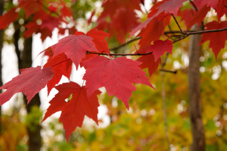 acer: Red Maple (Acer rubrum) Leaves in Fall Stock Photo
