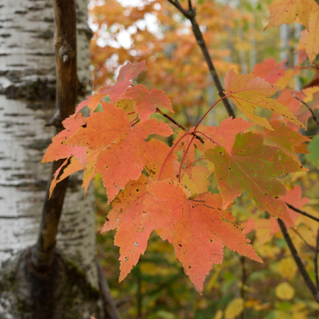 acer: Red Maple (Acer rubrum) Leaves Showing Fall Colors