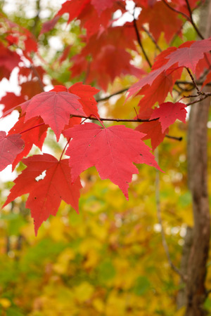acer: Red Maple (Acer rubrum) Leaves with Fall Colors Stock Photo