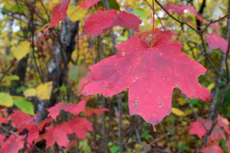 acer: Sugar Maple (Acer saccharum) Leaves in Fall