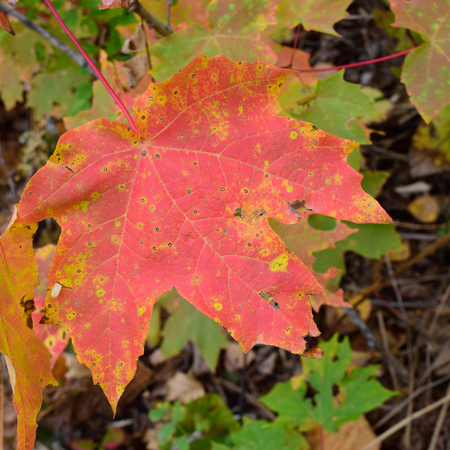 acer saccharum: Sugar Maple (Acer saccharum) Leaf Detail in Fall
