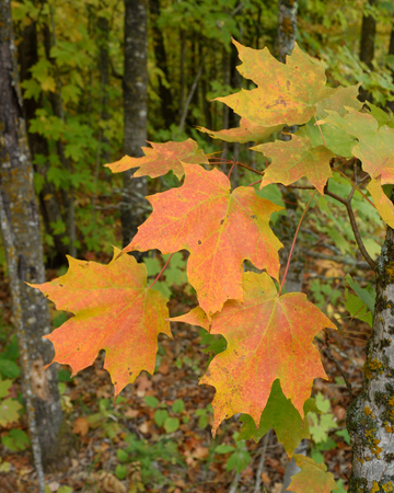 saccharum: Sugar Maple (Acer saccharum) with Colorful Fall Leaves