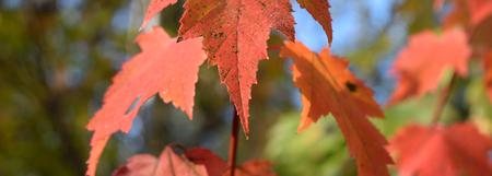 acer: Red Maple (Acer rubrum) Leaf Tip in Fall