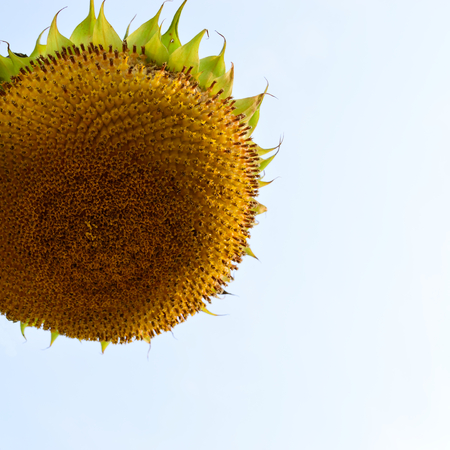 wilted: Wilted Giant Sunflower (Helianthus) Seed Head Stock Photo