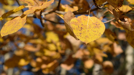 Closeup of Aspen (Populus tremuloides) on Fall Day Stock Photo