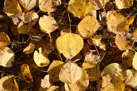 quaking aspen: Golden Aspen (Populus tremuloides) Leaves on Ground Stock Photo