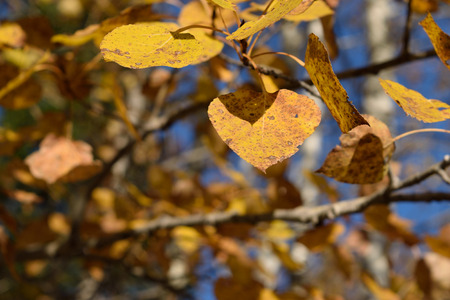 Closeup Detail of Golden Aspen (Populus tremuloides) Leaves