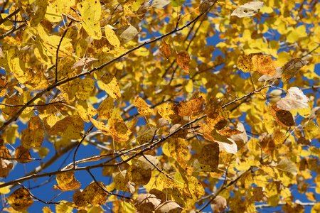 Quaking Aspen (Populus tremuloides) Showing Fall Colors
