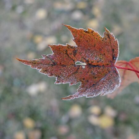 acer: Single Frosted Red Maple (Acer rubrum) Leaf