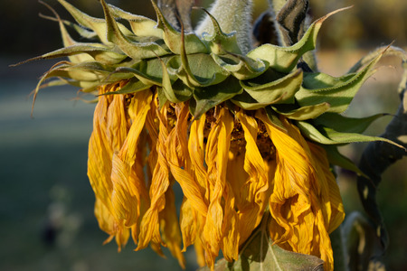 Closeup Detail of Wilted Giant Sunflower (Helianthus) Head