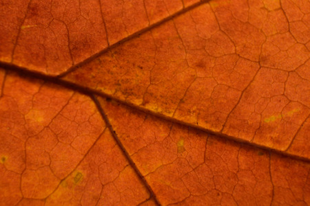 acer: Red Maple (Acer rubrum) Leaf Macro in Fall Stock Photo