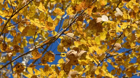 Trembling Aspen Populus tremuloides Showing Fall Colors Stock Photo