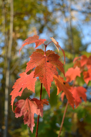 acer: Red Maple (Acer rubrum) Fall Color Leaf Detail Stock Photo