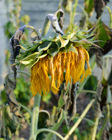 wilted: Wilted and Frosty Giant Sunflower (Helianthus)