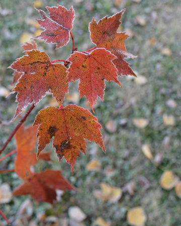 acer: Frosty Red Maple (Acer rubrum) Leaves