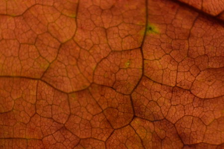 acer: Fall Red Maple (Acer rubrum) Leaf Closeup Stock Photo
