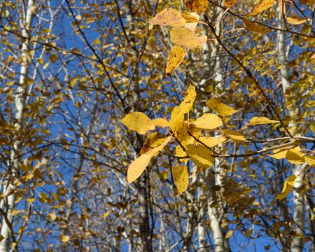 Golden Trembling Aspen (Populus tremuloides) and Blue Sky