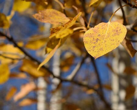 quaking aspen: Detail of Golden Aspen (Populus tremuloides) Leaf