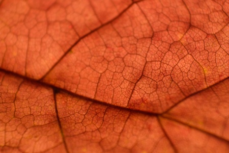 acer: Fall Red Maple (Acer rubrum) Leaf Macro