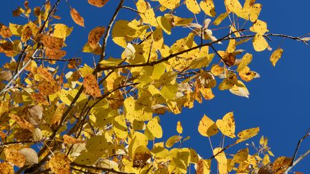 quaking aspen: Golden Aspen (Populus tremuloides) on Sunny Fall Day