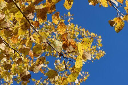 Golden Aspen (Populus tremuloides) Leaves and Blue Sky