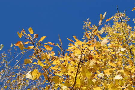 Blue Sky and Golden Aspen (Populus tremuloides) Stock Photo