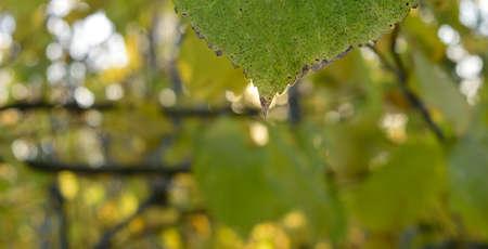 basswood: Basswood (Tilia Americana) Leaf Tip Detail Stock Photo