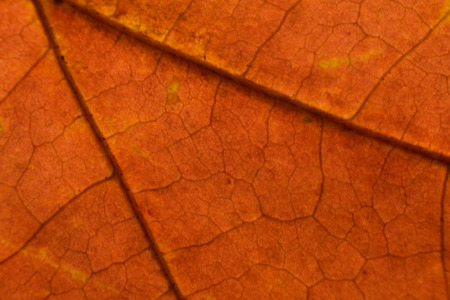 acer: Fall Red Maple (Acer rubrum) Leaf Closeup Macro