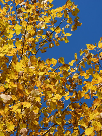 quaking aspen: Blue Sky and Aspen (Populus tremuloides) on Fall Day Stock Photo