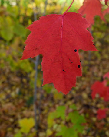 acer: Closeup Detail of Single Red Maple (Acer rubrum) Leaf in Fall