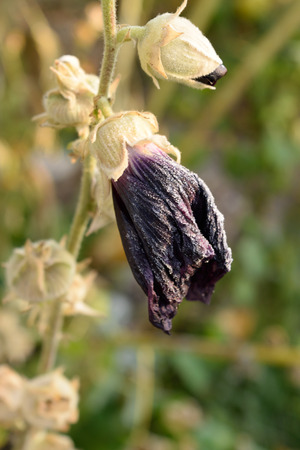 alcea: Wilted Hollyhock (Alcea) in Fall