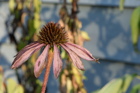 wilting: Closeup of Wilting Coneflower (Echinacea) Stock Photo