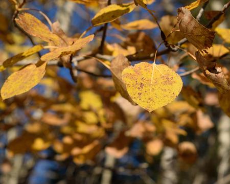 Golden Aspen (Populus tremuloides) on Fall Day