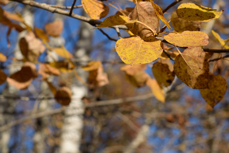 quaking aspen: Closeup of Golden Aspen (Populus tremuloides) Leaves Stock Photo