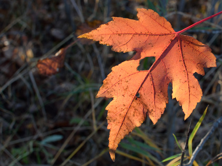 acer: Single Red Maple (Acer rubrum) Leaf in Fall Stock Photo