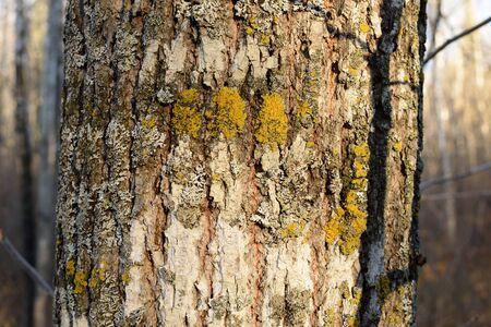 tilia: Bark Detail of Basswood (Tilia Americana) Tree Stock Photo