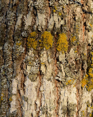 basswood: Closeup of Basswood (Tilia Americana) Bark Stock Photo
