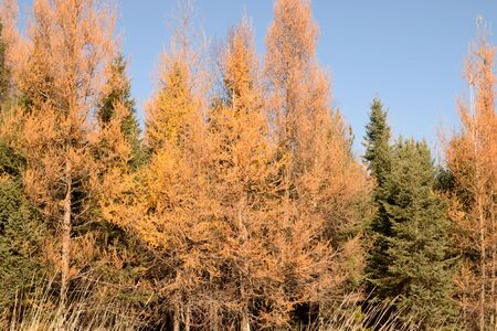 picea: Larch (Larix laricina) and Black Spruce (Picea mariana) in Fall